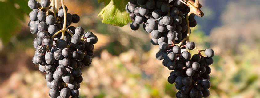 grapes-1730723_1920